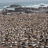 Gannet Colony, Luderitz, Namibia