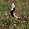 Long Toed Lapwing, Vanellus crassirostris (previously Plover), Chobe river, Botswana.