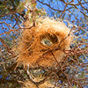 Weaver nest under construction