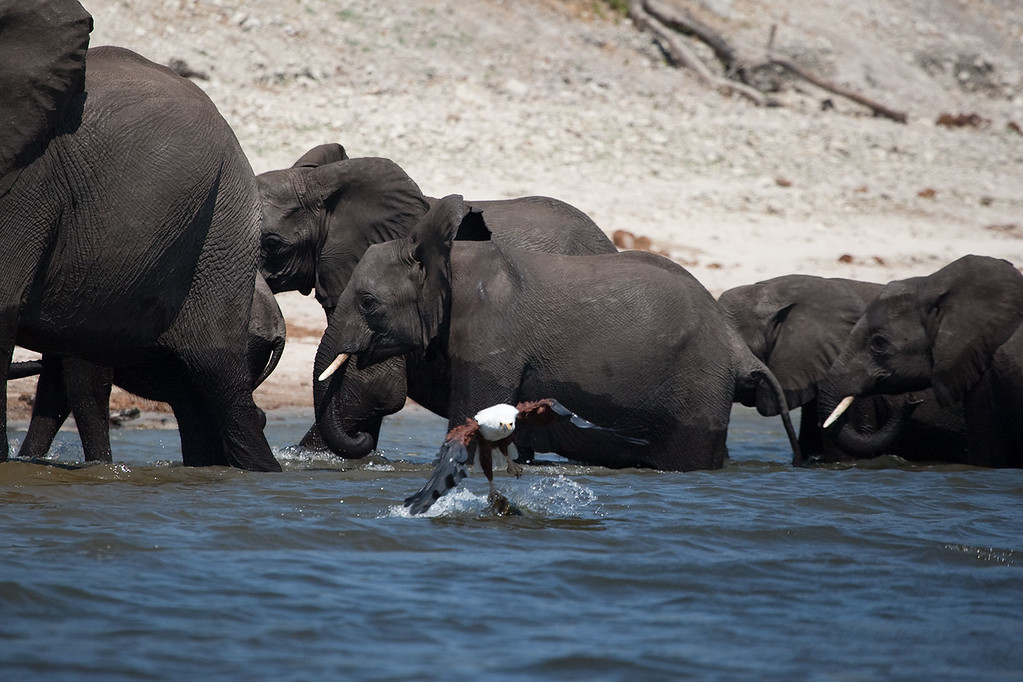An African Fish Eagle stampedes a small herd of Elephants from the Water as it attempts to fly off with a large Tiger fish in its claws.