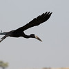 Open Billed Stork, Botswana