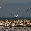 Gannet Colony, Walvis Bay, Namibia