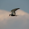 Pied Kingfisher, Chobe Botswana