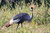 Crowned Crane @ Flatdogs Camp, South Luangwa NP, Zambia