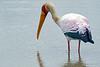 Yellow-billed Stork-breeding @ Kaingo Camp, South Luangwa NP, Zambia