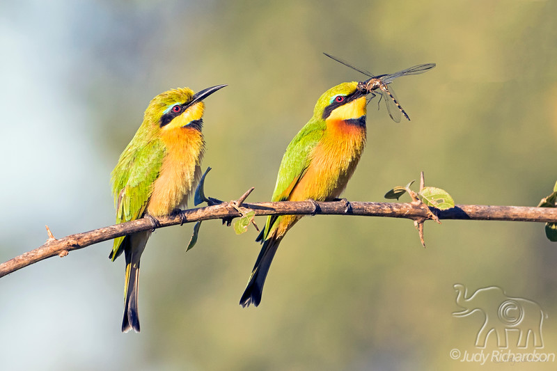 Little Bee-eater with Dragonfly @ Flatdogs Camp, South Luangwa NP, Zambia