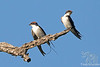 Wire-tailed Swallows @ Flatdogs Camp, South Luangwa NP, Zambia