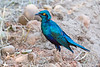 Greater Blue-eared Starling @ Flatdogs Camp, South Luangwa NP, Zambia