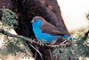 Blue Waxbill @ The Bush House ~ Madikwe Game Reserve, South Africa
