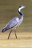 Black-headed Heron Kaingo 4x6 ©_D2_3685