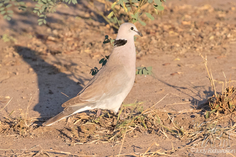 Cape Turtle-dove @ Flatdogs Camp, South Luangwa NP, Zambia