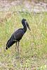 Openbilled Stork @ Kaingo Camp, South Luangwa NP, Zambia
