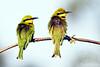 Little Bee-eater  @ Flatdogs Camp, South Luangwa NP, Zambia