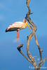 Yellow-billed Stork @ Kaingo Camp, South Luangwa NP, Zambia