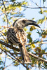 African Grey Hornbill @ Flatdogs Camp, South Luangwa NP, Zambia