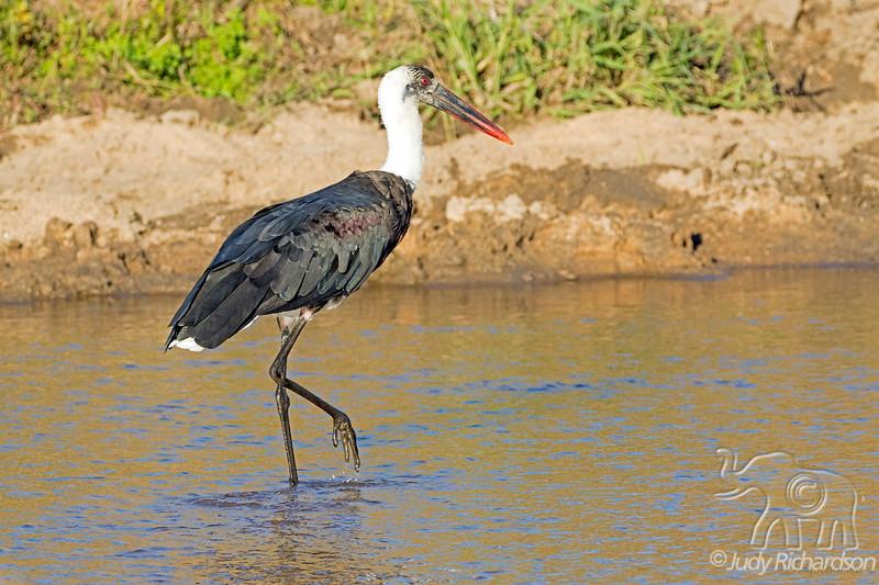 Wooley-necked Stork @ Rattrays, Mala Mala, ZA
