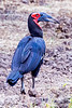 Southern Ground Hornbill @ Kaingo Camp ~ South Luangwa NP, Zambia