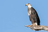 African Fish Eagle-Immature @ Fladdogs Camp, South Luangwa NP, Zambia