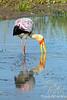 Yellow-billed Stork @ Kaingo Camp, South Luangwa NP, Zambia