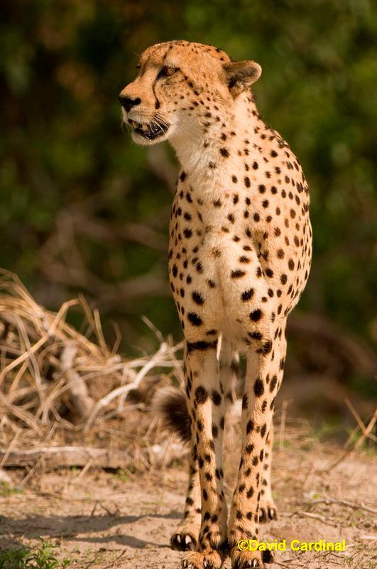 Cheetah on the Prowl