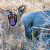 yawning African Lion (southwestern subspecies)