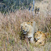 African Lion (southwestern subspecies)