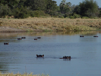 Hippos in the Gomoti Channel.
