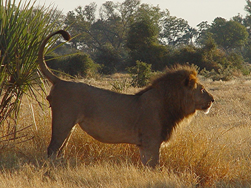 "One of the lions got up to ""mark their territory"" by spraying a nearby bush."