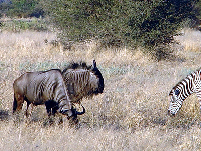 Blue Wildebeest will combine with others for safety - here they have joined the zebra herd.