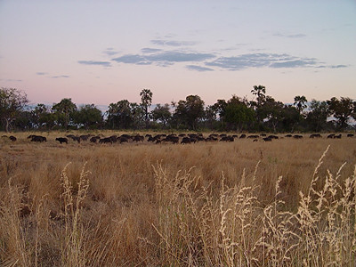 That lone buffalo wasn't alone after all - here's the rest of the herd.