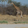 This lone giraffe was at the airstrip to see us off to our next camp - Duma Tau.