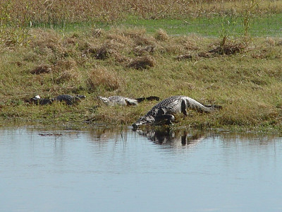 Crocodiles sunning themselves along the Gomoti - they are on the Moremi Reserve lands.