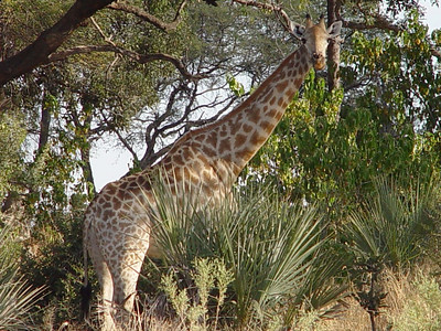 A Southern Giraffe stops browsing to check us out.