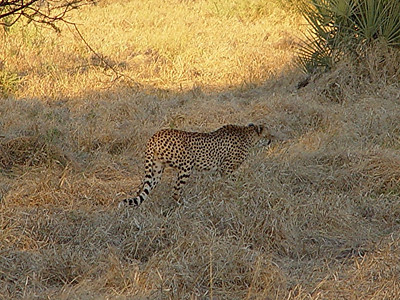 As the sun dropped low on the horizon, the cheetah left us to head home.
