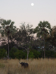 A lone Cape Buffalo under the rising moon.