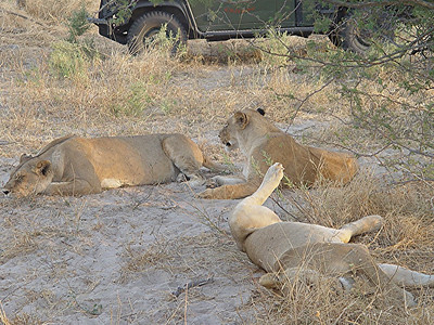 The females of the Chitabe Pride were resting near a water hole.