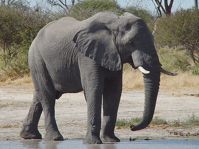We followed this ellie from the airstrip to the waterhole.