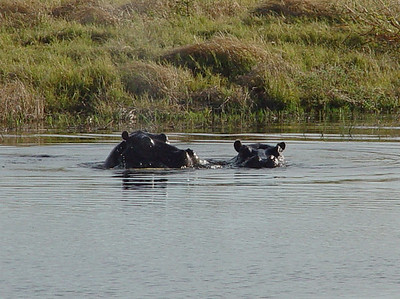 Common view of hippos during the day - submerged to their eyes in the water.