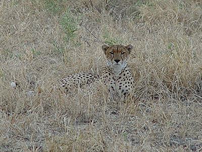 Less shy, this cheetah made himself at home in front of our jeep.