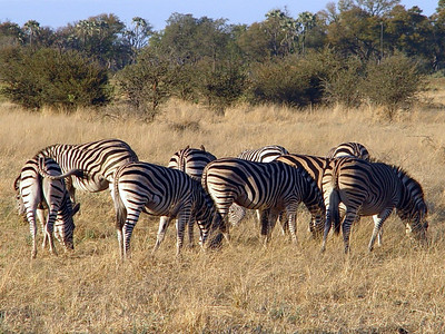 Burchell's Zebra - in a typical butt-out grouping.