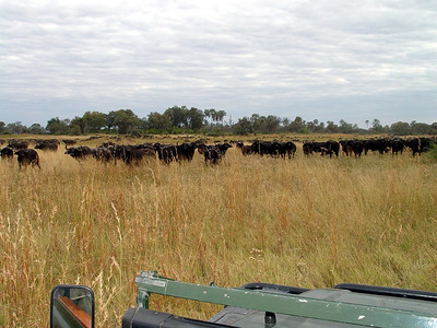 The herd of Cape Buffalo stretched out as far as the eye could see.