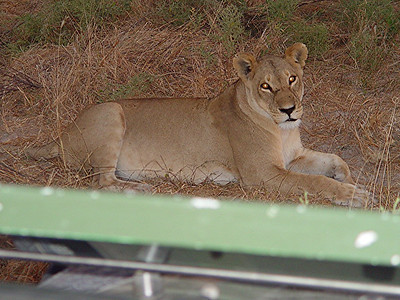 The flash from my camera made her eyes glow.  I captured a bit of the jeep at the bottom so you can see how close we really are to this lioness.