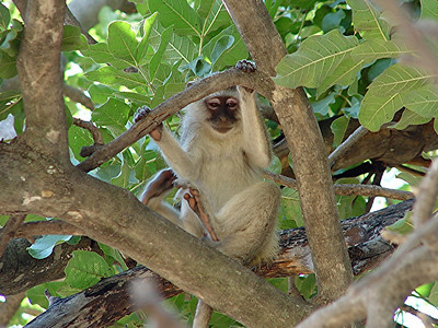 This vervet monkey was obviously as curious about us as we were about it.