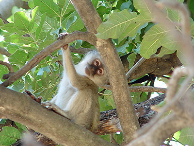 Vervet monkeys mischieviously peeked out of trees as we made our way to camp.