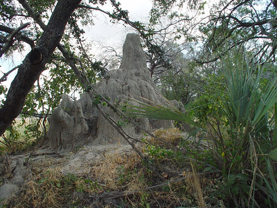 """Our very own termite mound; since there were no holes in it, we knew it to be an """"active"""" mound with the little critters still in residence."""