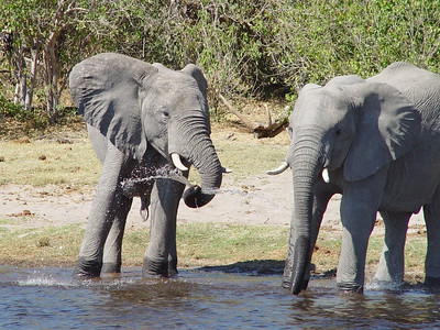 A pair of elephants playing with water is amongst the first wildlife we encounter on our cruise on the Linyanti.
