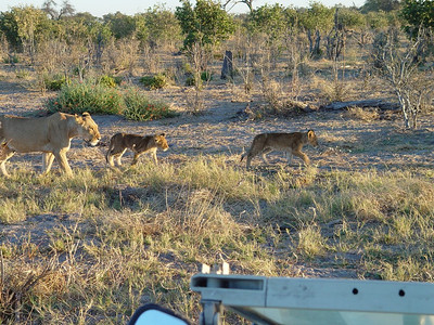 Mum and two of the cubs pass in front of the jeep; the rest of the group was lagging behind.