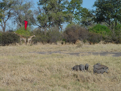 Here we have giraffes and warthogs in one place.