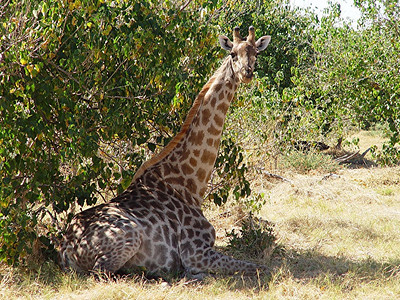 On our way to our boat ride on the Linyanti River we came across this giraffe resting in the shade of a tree.