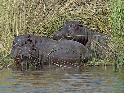 Finally, a few hippos that did not run for cover in the water at our approach.